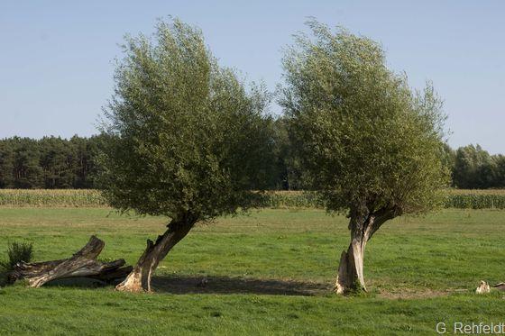 Kopfbaum-Bestand (HBK), Kopfweiden Oppershausen