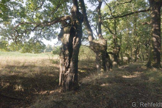 Kopfbaum-Bestand (HBK), Kopfeichen Braunschweig