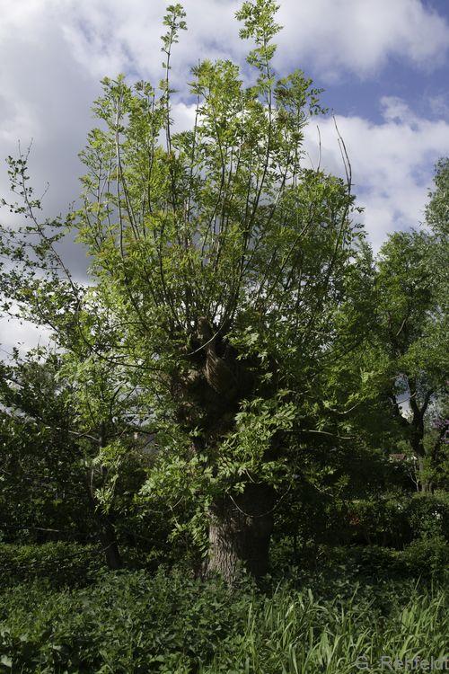Kopfbaum-Bestand (HBK), Schneitelesche Braunschweig