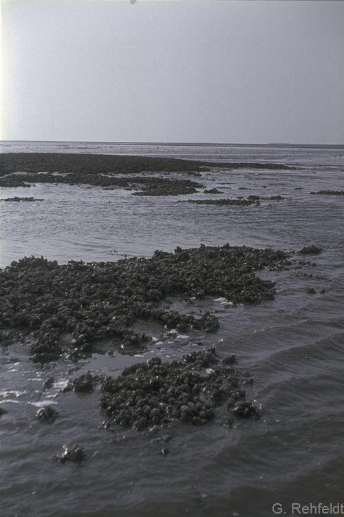 Salzwasserwatt mit Muschelbank (KWM)