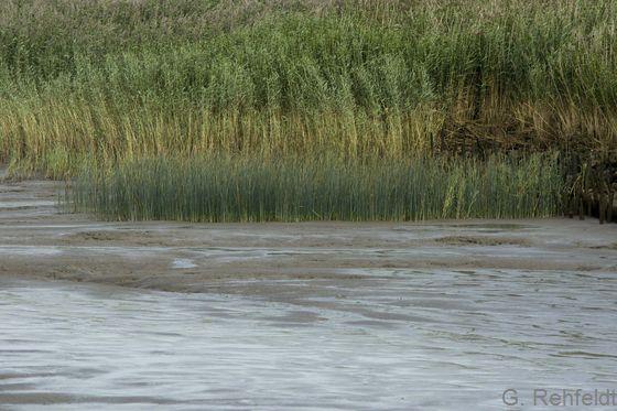 Brackwasserwatt mit Teichsimsenröhricht (KWRT), Wiemsdorf