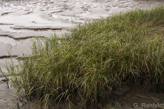 Brackwasserwatt mit Strandsimsenröhricht (KWRS), Kleinensiel