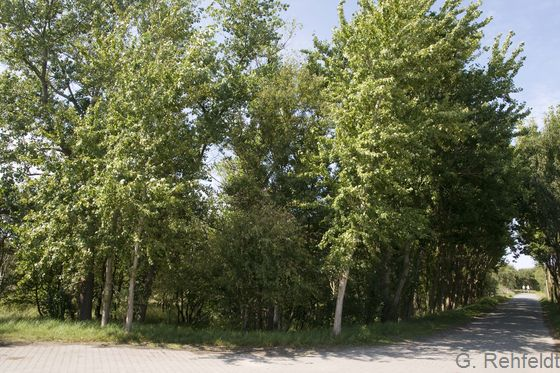 Sonstiger Pionierwald der Küstendünen (KGP), Norderney