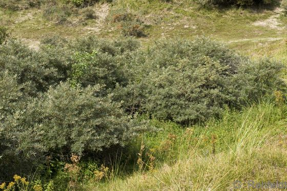 Sanddorn-Küstendünengebüsch (KGS), Norderney