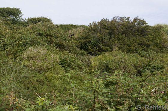 Sonstiges Küstendünengehölz aus heimischen Arten (KGH), Norderney