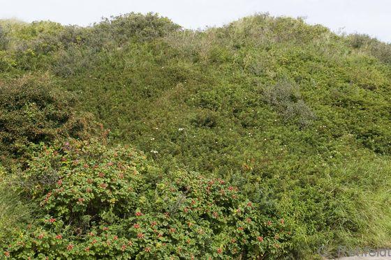Kartoffelrosen-Gebüsch der Küstendünen (KGX), Norderney