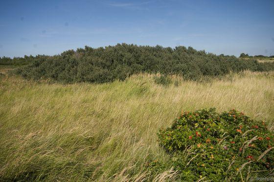 Anthropogene Sandfläche mit Dünengebüschen (KVB), Rysum