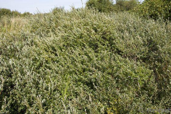 Dichtes Kriechweiden-Gebüsch feuchter Küstendünentäler (KBK), Norderney
