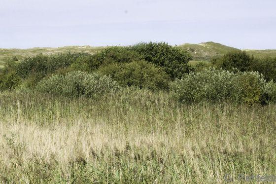 Hochwüchsiges Weidengebüsch nasser Küstendünentäler (KBH), Norderney