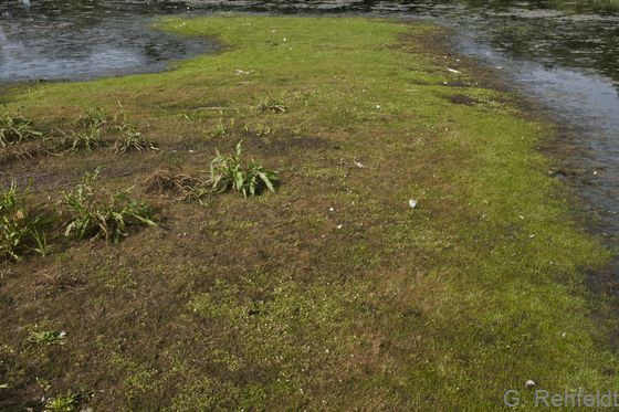 Mäßig nährstoffreiche Pionierflur trockenfallender Stillgewässer mit Zwergbinsenvegetation (SPM), Braunschweig