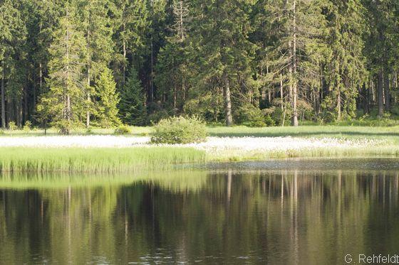 Verlandungsbereich nährstoffarmer Stillgewässer mit Wollgras (VOW), Bad Harzburg