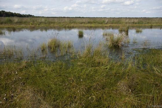 Verlandungsbereich nährstoffarmer Stillgewässer mit Moosdominanz (VOM), Stapeler Moor
