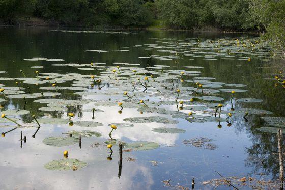 Verlandungsbereich nährstoffarmer Stillgewässer mit Schwimmblattpflanzen (VOS), Oker