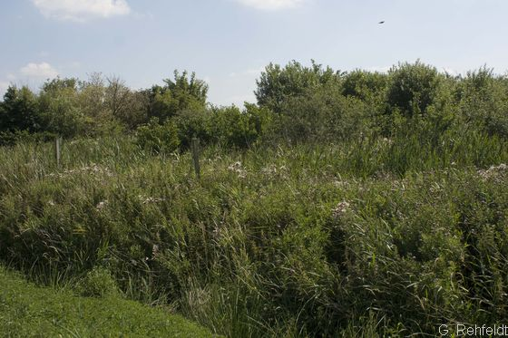 Hochstaudensumpf nährstoffreicher Standorte (NSS), Emden