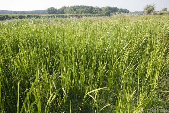 Wasserschwaden-Landröhricht (NRW), Leer