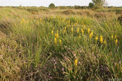 Moorlilien-Anmoor (MZN), Wiesmoor