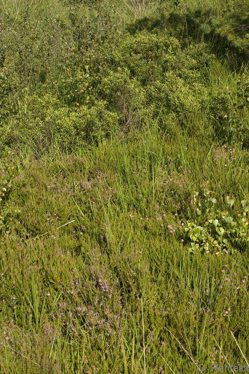 Sonstige Moor- und Sumpfheide (MZS), Flögeln
