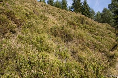 Silikatheide des Hügellandes (HCH), Wildemann