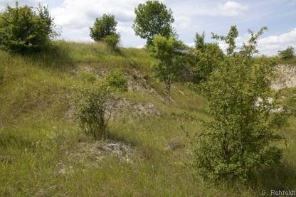 Kalkmagerrasen-Pionierstadium (RHP), Berel