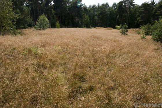 Drahtschmielen-Rasen (RAD), Haren