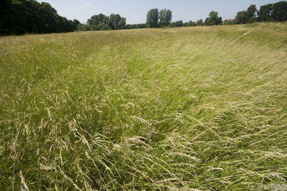 Intensivgrünland trockener Mineralböden (GIT), Braunschweig